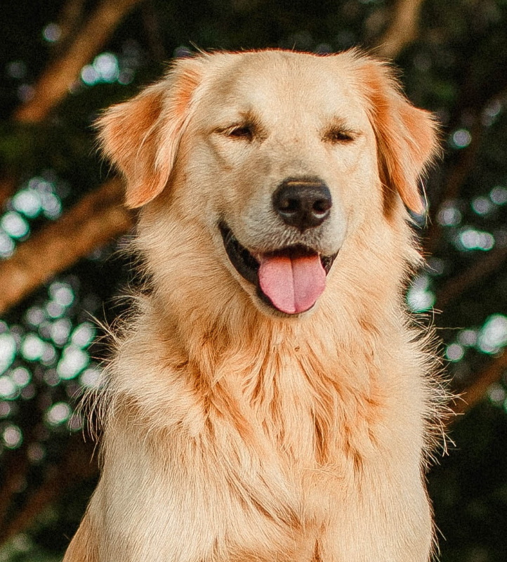 KaJo Pets golden retriever woods